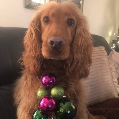 Long-eared surprised looking dog with many Christmas baubles hanging from his collar